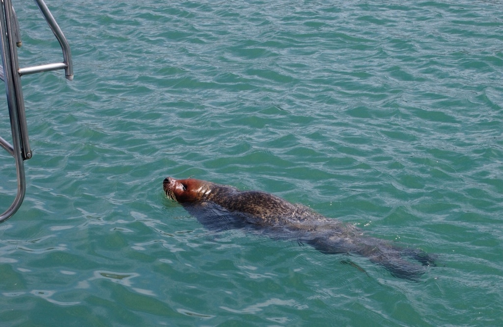 Seal in Dove harbour